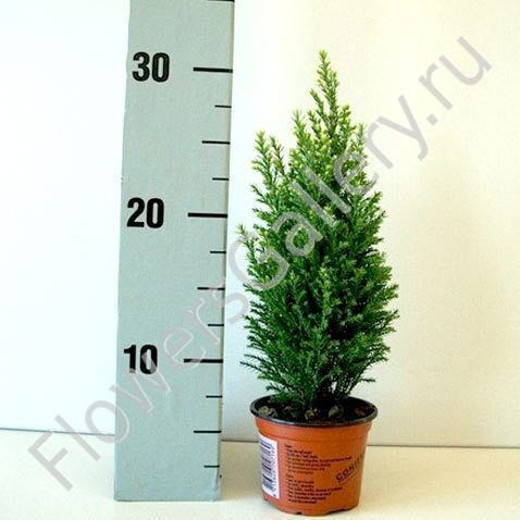 Хвойные комнатные растения: миниатюрная альтернатива живой